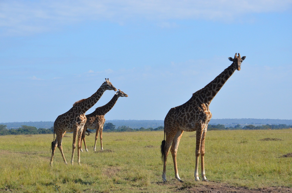 Three giraffes on the savannah against a bright blue sky