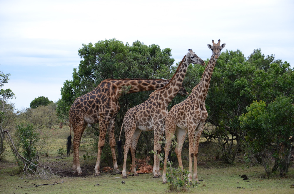 There giraffes eating at trees